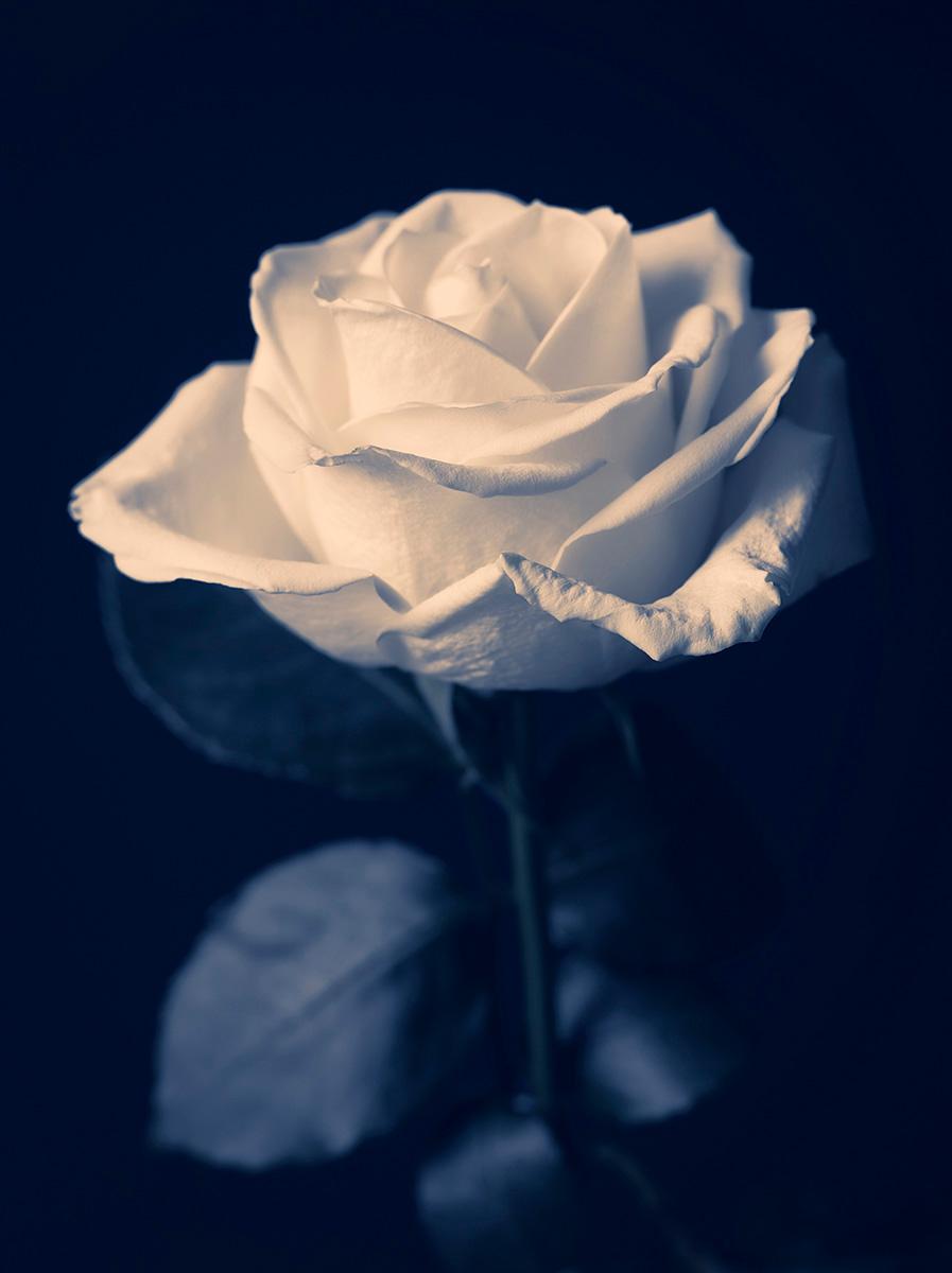 Indira-Cesarine-22The-Labyrinth-Blue-Rose22.jpg
