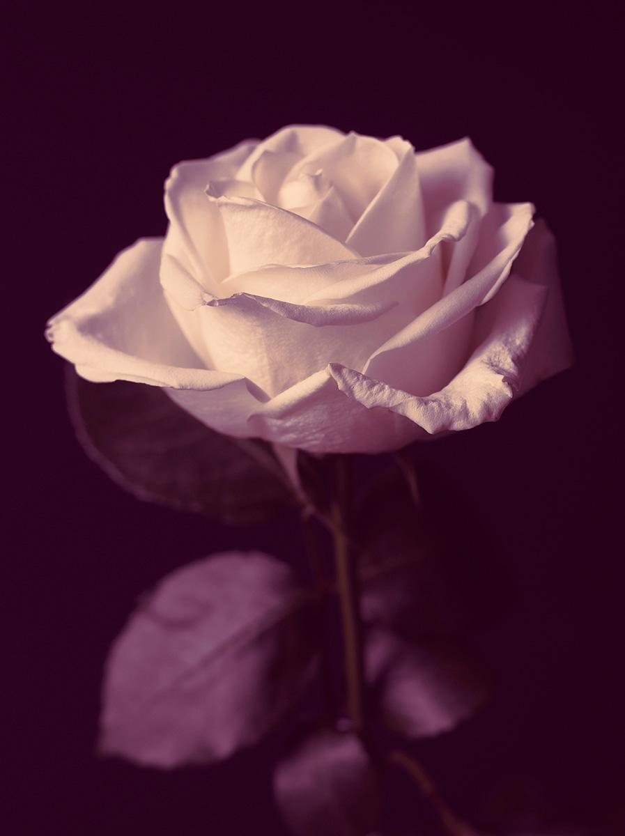 Indira-Cesarine-22The-Labyrinth-Magenta-Rose22.jpg