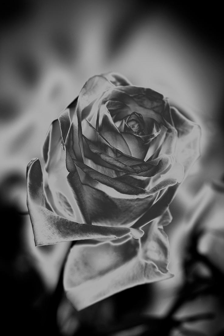 Indira-Cesarine-22The-Labyrinth-Une-Rose-Fleurit-en-Argent22..jpg