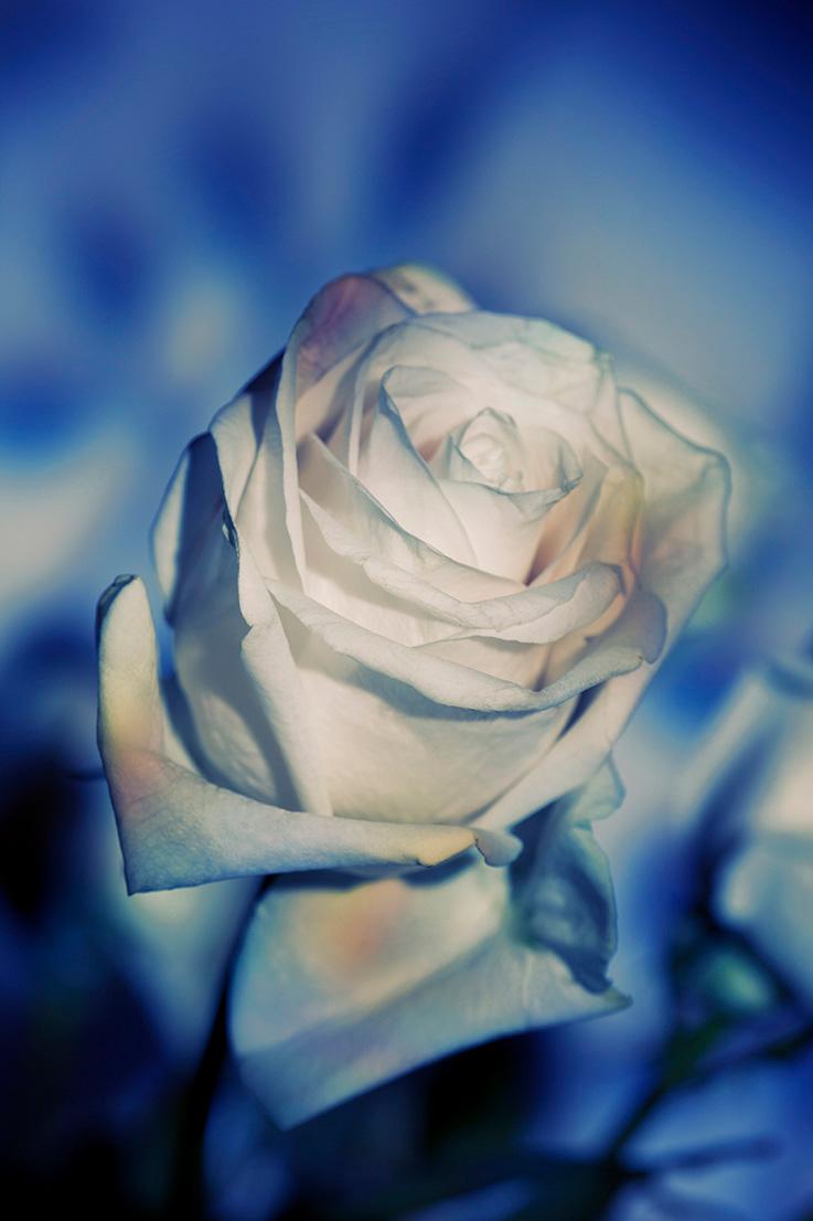 Indira-Cesarine-22The-Labyrinth-Une-Rose-Fleurit-en-Couleur22.jpg