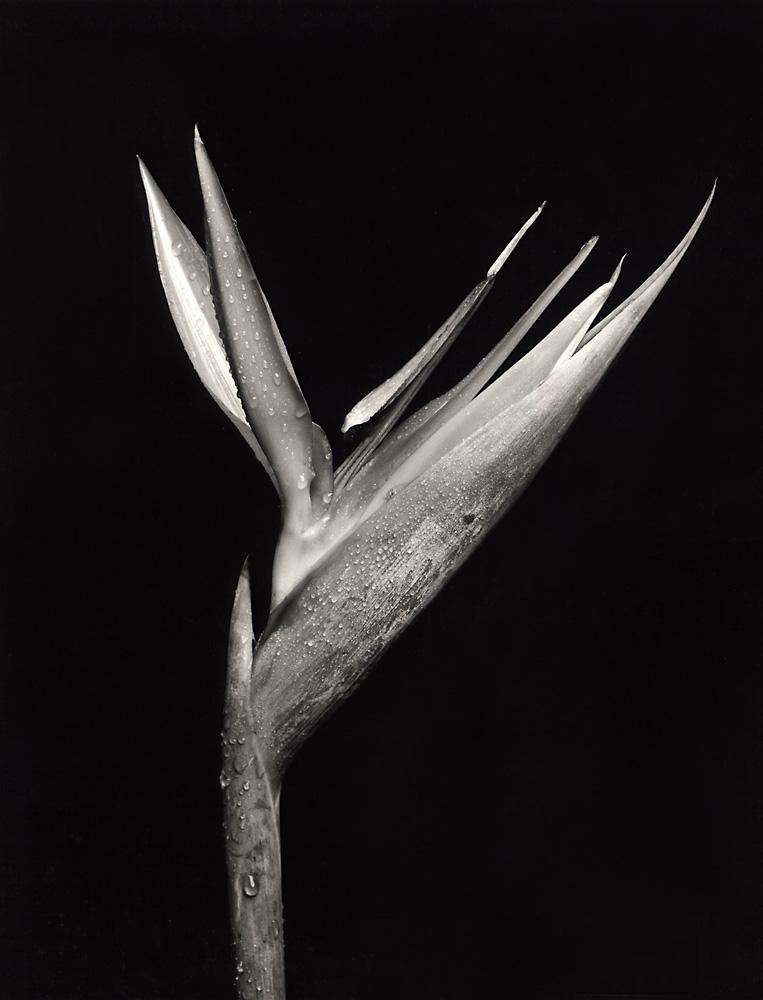 Indira-Cesarine-Flora-Series-1995-Silver-Gelatin-BW-Photography-Medium-format-Neg-Printed-on-Fiber-Paper-001.jpg