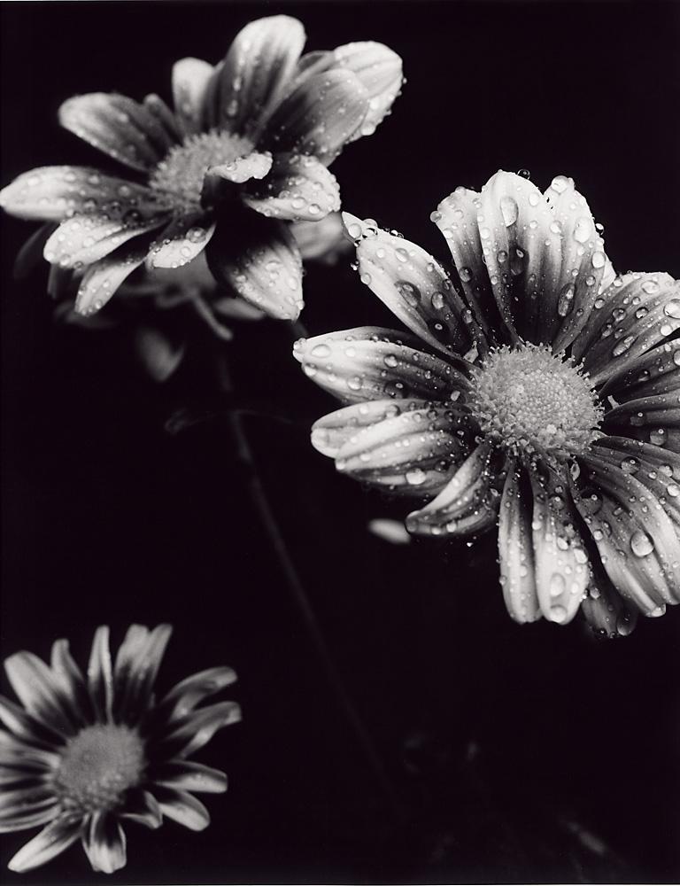 Indira-Cesarine-Flora-Series-1995-Silver-Gelatin-BW-Photography-Medium-format-Neg-Printed-on-Fiber-Paper-006.jpg